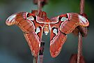 Cobra Moth II by PhotosByHealy