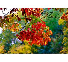 Beautiful colorful oak leaves, autumn day, nature concept Photographic Print