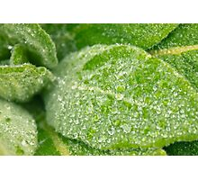 Dew on a Lamb's Ear Photographic Print