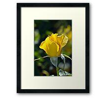 Single yellow rose Framed Print
