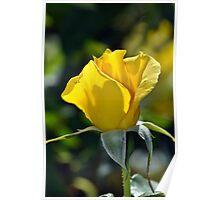 Single yellow rose Poster