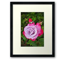 Single pink rose Framed Print