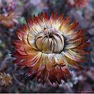 December strawflower by MarianBendeth