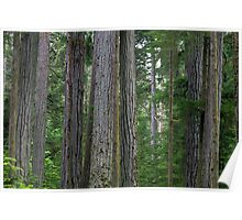 Cathedral Grove Forest Poster