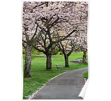 Cherry Blossoms in Stanley Park Poster