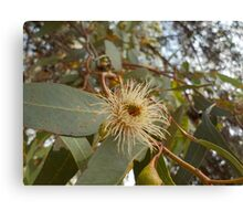 Gum Tree Blossom Canvas Print