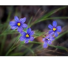 Blue-eyed grass Photographic Print