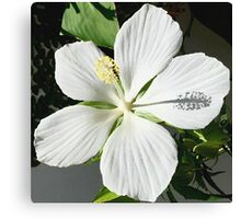 White Texas Star Hibiscus Canvas Print