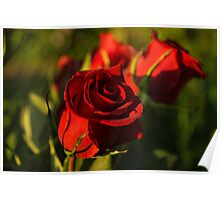 Ruby Red Birthday Roses  Poster
