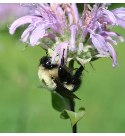 Bumble Bee On Bee Balm Sticker
