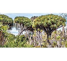 Dragon Trees in Garden Photographic Print