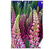 Colorful lupine flowers Poster