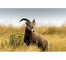 Portrait of a Bighorn - (Ovis condenses) Photographic Print