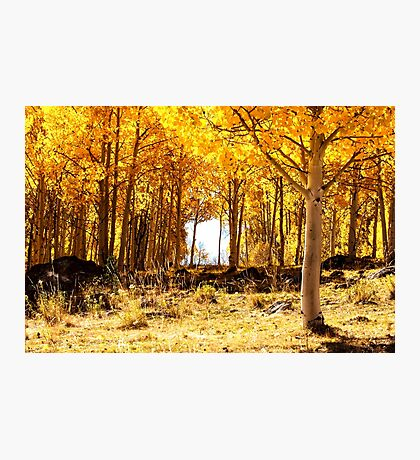 Aspen Forest Photographic Print