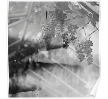 Grapes in a glasshouse Poster