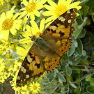 Painted Lady  by armadillozenith