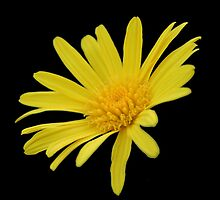 Yellow Daisy Flower Isolated by taiche