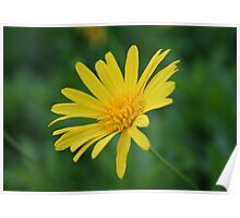 Yellow Daisy Flower Poster