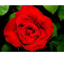 Star-shaped rose Photographic Print