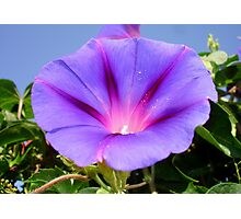 Purple Colored Morning Glory Flower Garden Background  Photographic Print