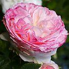 Rose - Eden Rose by Martina Cross