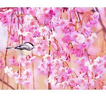 Black Cap Chickadee In Pink Weeping Willow Photographic Print
