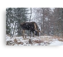 Moose in a snow storm Canvas Print