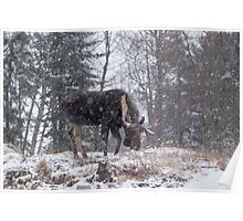 Moose in a snow storm Poster