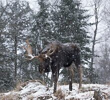 Moose in a snow snow storm by Josef Pittner