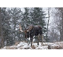 Moose in a snow snow storm Photographic Print