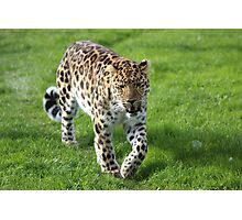 Amur Leopard Yorkshire Wildlife Park Photographic Print
