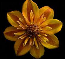 Bright single dahlia by beatrice11