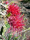 "Grevillea ""Ruby Red"" by Margaret  Hyde"