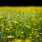 Daisy field by KerrieMcSnap