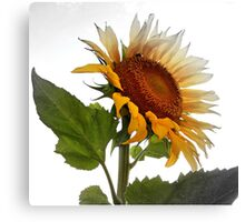 UNPRETENTIOUS SUNFLOWER Canvas Print