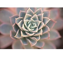 Echeveria Flower Photographic Print