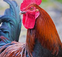 Red Rooster by Nicholas Blackwell