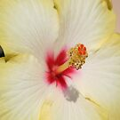 Beautiful Yellow Hibiscus Flower by taiche