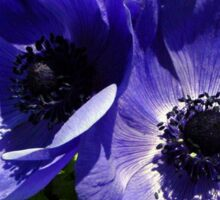 Two Blue Mauve Anemone - Close Up Windflowers Sticker
