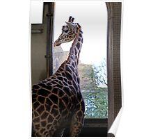 Giraffe at London Zoo Poster