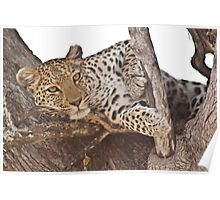 Watchful leopard Poster
