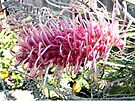 "Grevillea ""Flamingo"" by Margaret  Hyde"