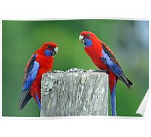 Crimson Rosellas. Brisbane, Queensland, Australia. Poster