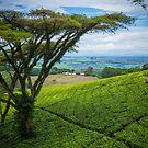 Satemwa Tea Estate by Tim Cowley