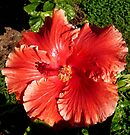 "Hibiscus ""Orange Magic"" by Margaret  Hyde"