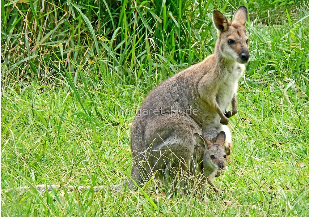 Wallaby with Joey by Margaret  Hyde
