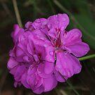 Pink geranium by richeriley