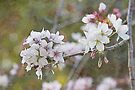 Flowering Cherry Blossom by Elaine Teague