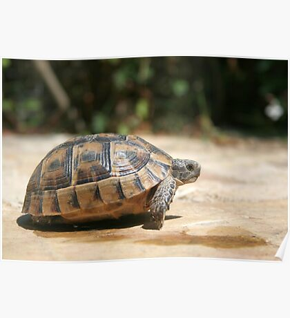 Sideview of A Walking Turkish Tortoise Poster