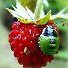 Green Bug on Wild Strawberry by ©The Creative  Minds